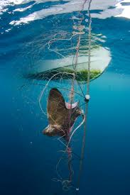 marine photobank ocean in focus contest photo essay dead bat ray in net