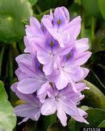 Eichhornia crassipes - Bugwoodwiki