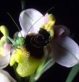 G.I.R.O.S. - Gruppo Italiano per la Ricerca sulle Orchidee Spontanee