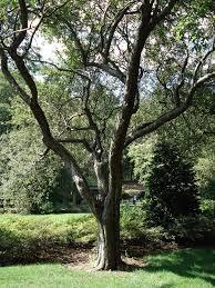 Malus spectabilis - Wikipedia