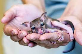 Image result for baby kangaroo just born