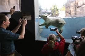 polar bear cub d hope makes debut at toledo zoo in ohio the polar bear cub d hope makes debut at toledo zoo in ohio the review