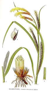 File:440 Carex gracilis.jpg - Wikimedia Commons