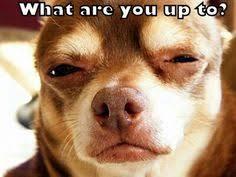 CUTE Chihuahua on Pinterest   Chihuahuas, Scubas and Dogs via Relatably.com