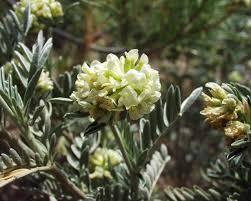 Anthyllis barba-jovis - Wikipedia, la enciclopedia libre