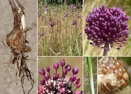 Allium scorodoprasum L. - Esploriamo la flora: un progetto per le ...