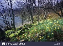 wordsworth s daffodils narcissus pseudonarcissus ullswater lake stock photo wordsworth s daffodils narcissus pseudonarcissus ullswater lake district