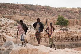 thousands forced to move as drought strikes puntland al jazeera pastoralists in dhudo village bandar bayla bring their camels from up to 80km away to drink ashley hamer al jazeera