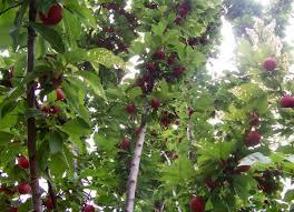 Fruit <b>tree</b> - Wikipedia
