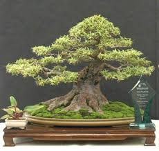buy a bonsai tree what to look for bought bonsai tree