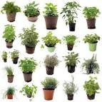 Plante aromatique liste