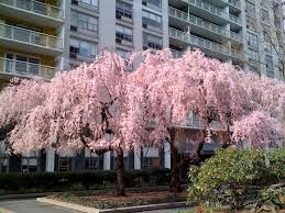 Image result for blooming trees