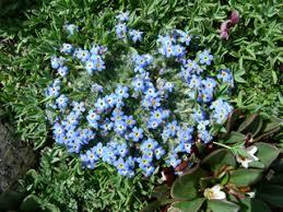 Eritrichium nanum (Arctic alpine forget-me-not) | Native Plants of ...