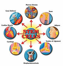 townipproject   stem cell researchstem cell research began in the     s  when scientist found that certain types of cell could generate blood cells  there are three different types of stem