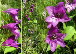 Gladiolus palustris Gaudin - Sistema informativo sulla flora ...