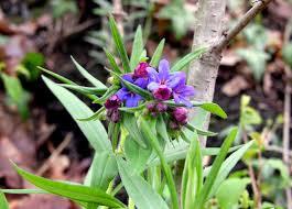 Buglossoides purpurocaerulea (L.) I.M. Johnst. - Erba perla azzurra ...