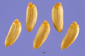 Plants Profile for Carduus crispus (curly plumeless thistle)