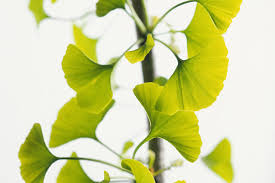 <b>Ginkgo Biloba</b>: Benefits, Side Effects, Dosage, and Interactions