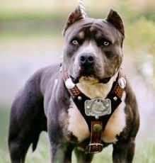 نتيجة بحث الصور عن كلب بيتبول الامريكي