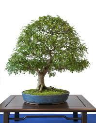 bonsai tree care interior deisign asian bonsai tree interior