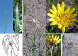 Tragopogon pratensis L. - Portale sulla flora del basso corso del ...