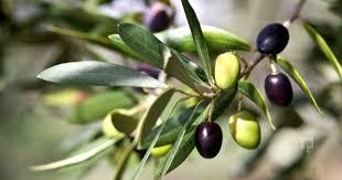 zeytin ağacı ile ilgili görsel sonucu