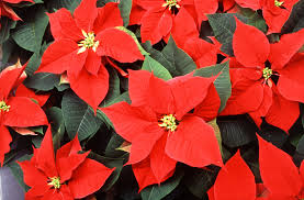 National Poinsettia Day | Interesting Thing of the Day