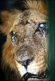 Image result for LION DISEASE