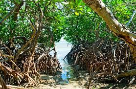 Image result for mangroves
