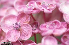 احلى صور باللون الزهري images?q=tbn:ANd9GcQ