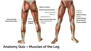 quiz archives parallel coaching uk s 1 personal trainer course anatomy quiz muscles of the leg