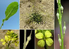 Rapistrum rugosum (L.) All. - Sistema informativo sulla flora ...