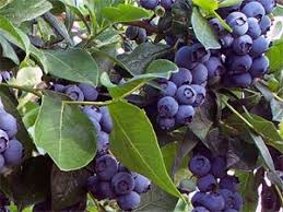 Image result for blue berries