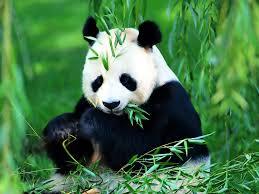 Image result for panda