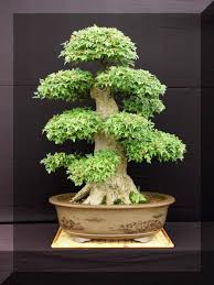 1000 images about bonzai trees on pinterest bonsai bonsai trees and trees bought bonsai tree
