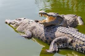 <b>Crocodiles</b>: Facts & Pictures | Live Science