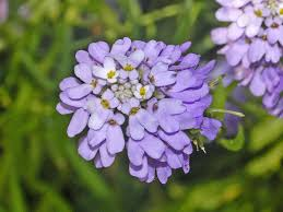 Iberis linifolia – Wikipedia