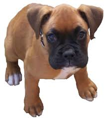 Image result for boxer puppy dog