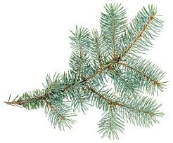 Look for an Evergreen Day - Giftypedia
