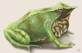 Image result for The Gastric Brooding Frogs Reproductive System