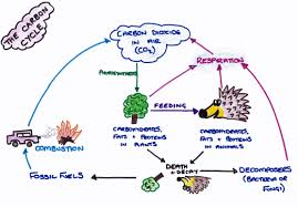 essay on carbon cycle buy it now hansonbiology weebly com carbon cycle summary diagram
