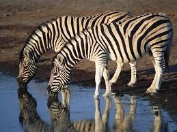 Image result for shoulder region: zebras