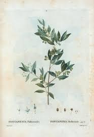 Fontanesia phillyreoides - Wikipedia, la enciclopedia libre