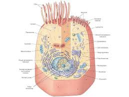 human cell  s diagram  structure   s  and functions    cell parts diagram to label