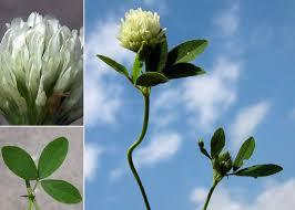 Trifolium alexandrinum L. - Portale della Flora di Roma