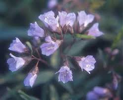 Cardamine - Online Virtual Flora of Wisconsin