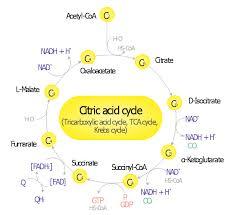 biochemical metabolic pathway map diagram   glucose catabolism    page   α ketoglutaric acid  α ketoglutarate  water  ubiquinone  ubidecarenone