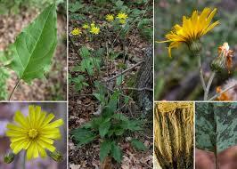 Hieracium murorum L. - Portale alla flora del Parco Nazionale delle ...