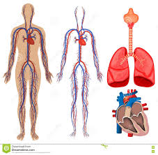 circulatory system stock vector image  circulatory system in human body stock photos