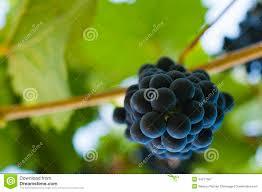 Image result for fresh fruit on vine